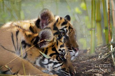 Samatran Tiger Cubs Print by Betty LaRue