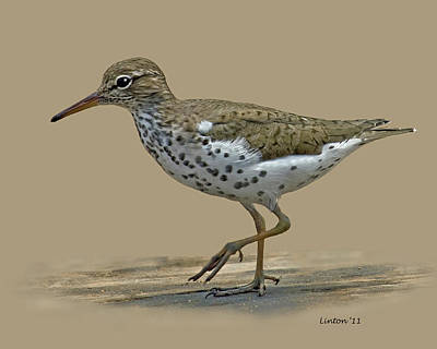 Sandpiper Photograph - Sandpiper by Larry Linton