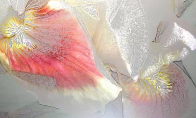 Sangria White Iris Print by Gretchen Wrede
