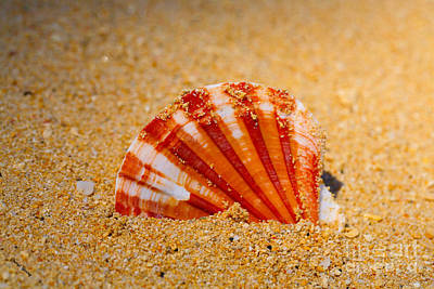 Scallop Shell Print by Cheryl Young
