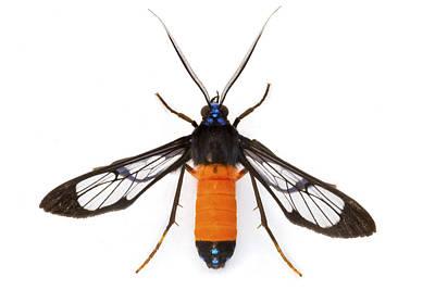 Piotr Naskrecki Photograph - Scape Moth Barbilla Np Costa Rica by Piotr Naskrecki