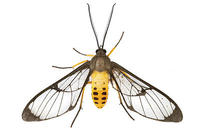 Piotr Naskrecki Photograph - Scape Moth Cartago Costa Rica by Piotr Naskrecki