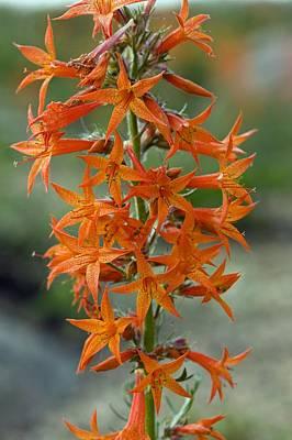 Scarlet Gilia (ipomopsis Aggregata) Print by Bob Gibbons