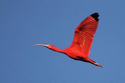 Scarlet Ibis Print by Copyright Faraaz Abdool/Hector de Corazón