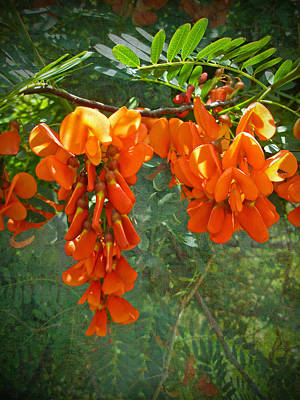Scarlet Wisteria Tree - Sesbania Punicea Print by Mother Nature