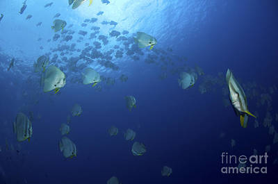 School Of Batfish, Christmas Island Print by Mathieu Meur