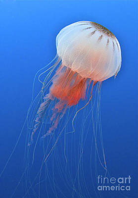 Sea Nettle Is Host To A Small Shrimp Print by Karen Doody