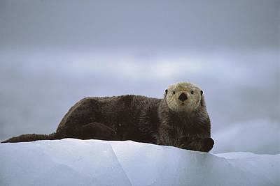 Sea Otter Enhydra Lutris Male Hauled Print by Suzi Eszterhas
