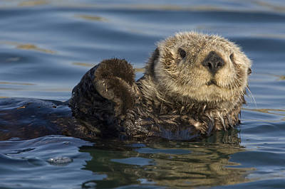 Otter Photograph - Sea Otter Monterey Bay California by Suzi Eszterhas