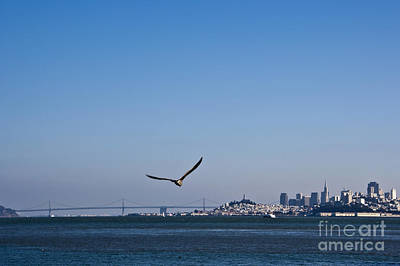 Seagull Flying Over San Francisco Bay Print by David Buffington