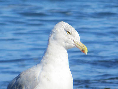 Seagull Print by Pamela Turner