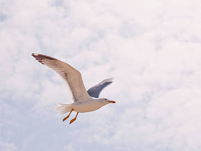 Flying Seagull Photograph - Seagull by Photos by Carol