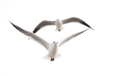 Flying Seagull Photograph - Seagulls by Tom Gowanlock