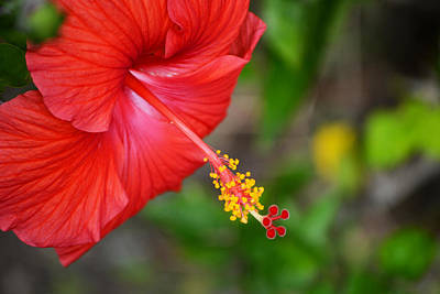 Hibiscus Photograph - Seasons Greetings...with Love From Florida by Melanie Moraga