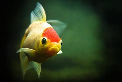Goldfish Photograph - Secret Life Of Wanda by Tomasz Bobrzynski (tomanthony)