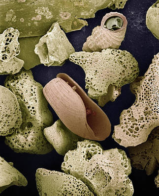 Sem Close-up View Of Foraminiferans Print by Albert Lleal