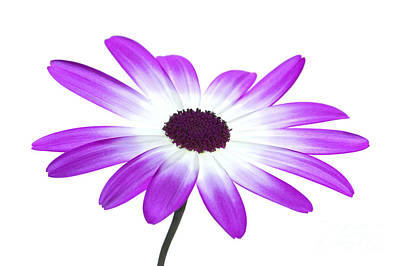 Senetti Magenta High Key Print by Richard Thomas
