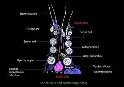 Sertoli Cells, Diagram Print by Francis Leroy, Biocosmos