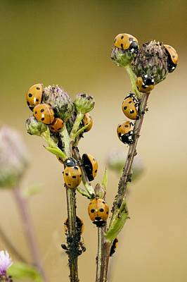 Eating Entomology Photograph - Seven-spot Ladybirds Eating Aphids by Bob Gibbons
