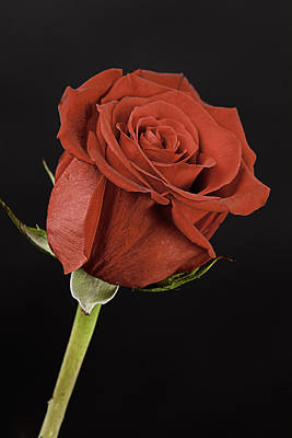 Sharp Red Rose On Black Print by M K  Miller