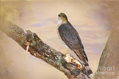 Hawk Digital Art - Sharp-shinned Hawk by Betty LaRue