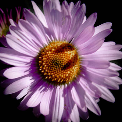 Aster Photograph - She Loves Me by David Patterson