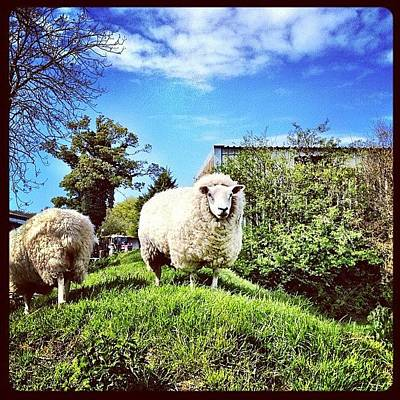 Sheep Photograph - #sheep #ewe #farm #wool #lamb #animal by Miss Wilkinson