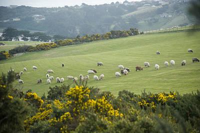 Sheep Graze On The Otago Peninsula Print by Bill Hatcher