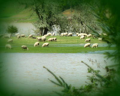 Sheep Grazing Amidst Flood Print by Cindy Wright