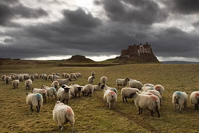 Sheep Grazing By Lindisfarne Castle Print by John Short