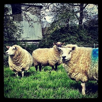 Sheep Photograph - #sheep #lamb #mutton #ewe #flock #farm by Miss Wilkinson