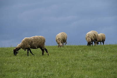 Sheep Print by Pan Orsatti