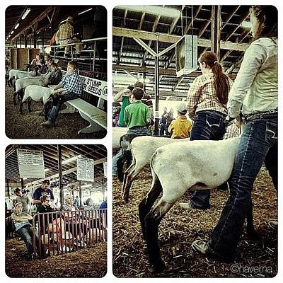 Sheep Photograph - Sheep Show by Natasha Marco