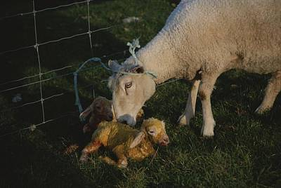 Etc. Photograph - Sheep With Two Newborn Lambs by Todd Gipstein