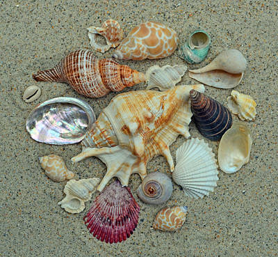 Shell Collection 2 Print by Sandi OReilly