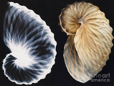 Shell X-ray Print by Photo Researchers