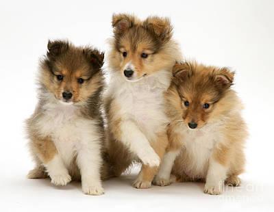 Sheltie Puppies Print by Jane Burton