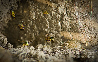 Shift Change Yellow-jacket Wasps Flying Out To Forage As Others Return To The Nest Print by Andy Smy