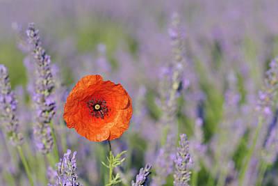 Close Focus Nature Scene Photograph - Shirley Poppy In English Lavender Field, Valensole, Valensole Plateau, Alpes-de-haute-provence, Provence-alpes-cote D Azur, Provence, France by Martin Ruegner