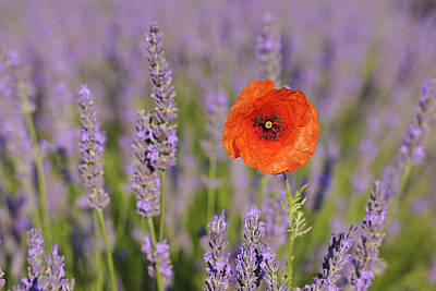 Close Focus Nature Scene Photograph - Shirley Poppy In English Lavender, Valensole, Valensole Plateau, Alpes-de-haute-provence, Provence-alpes-cote D Azur, Provence, France by Martin Ruegner