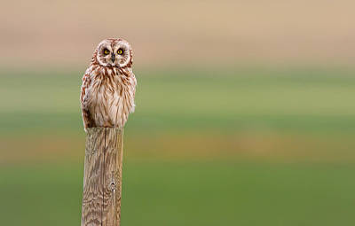 Short-eared Owl, Saskatchewan Print by Robert Postma