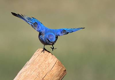 Birds Photograph - Showing Off by Shane Bechler