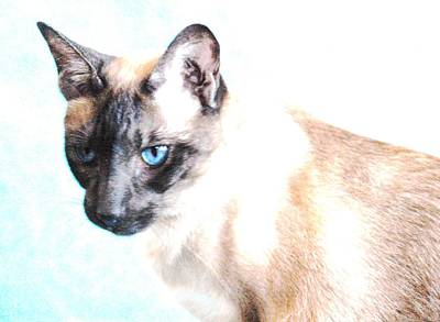 Siamese Photograph - Siamese  by Sophie  Bouchard
