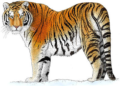 Tiger Drawing - Siberian Tiger by Roger Hall and Photo Researchers