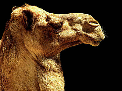 Camel Photograph - Side View by Lourry Legarde