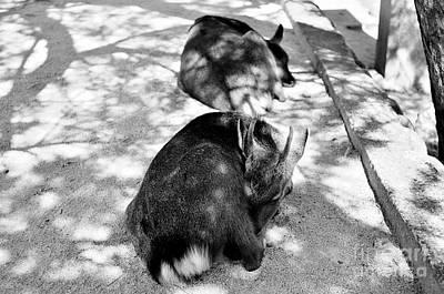 Miyajima Photograph - Siesta by Dean Harte
