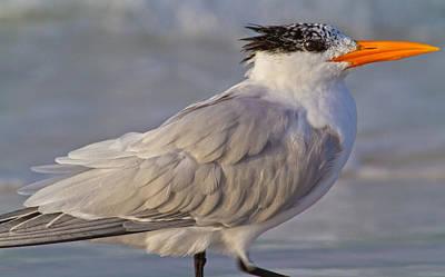 Yellow Beak Photograph - Siesta Key Royal Tern by Betsy C Knapp
