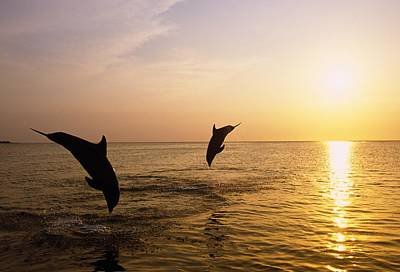 Silhouette Of Bottlenose Dolphins Print by Natural Selection Craig Tuttle
