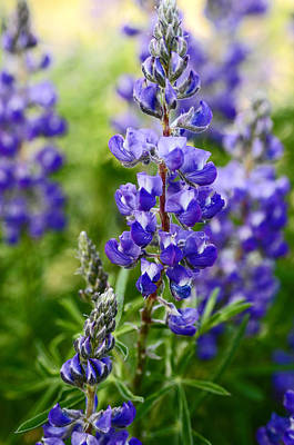 Silver Lupine Colorado Mountain Meadow Print by The Forests Edge Photography - Diane Sandoval