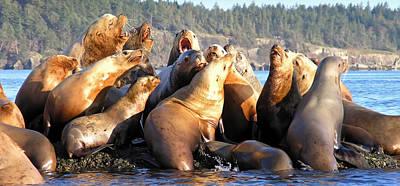Hornby Island Photograph - Singing Sea Lions by Derek Holzapfel